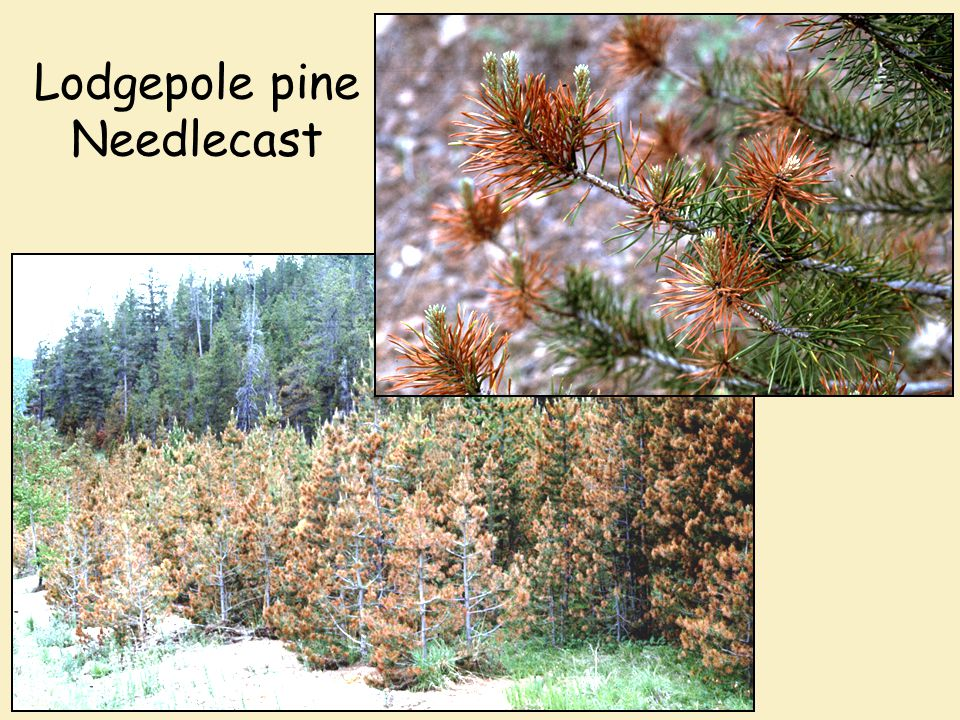 Lodgepole pine Needlecast