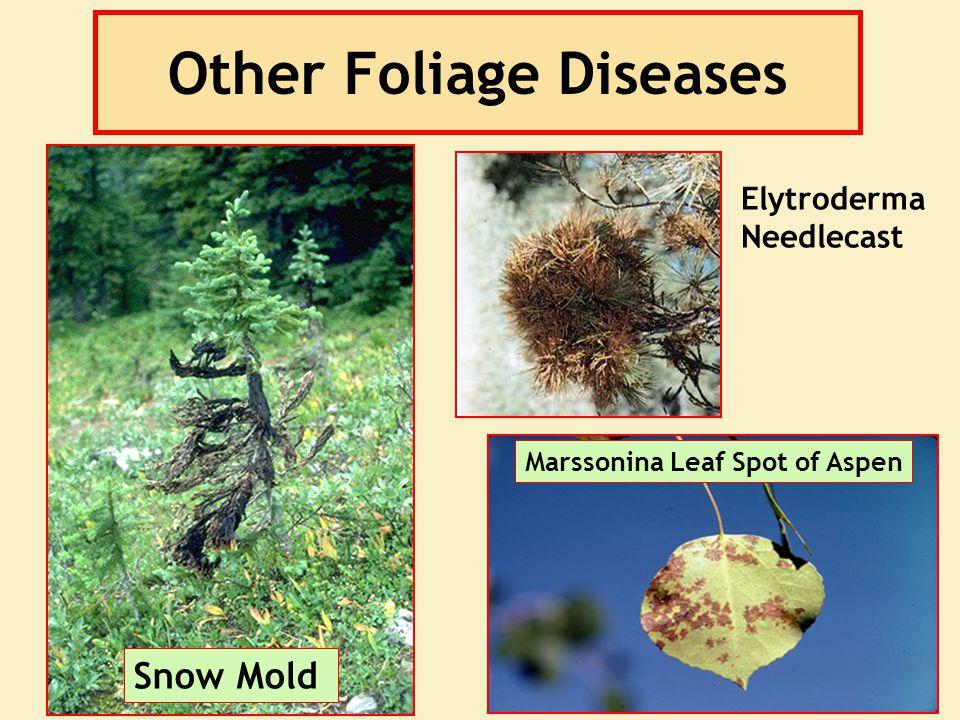 Other Foliage Diseases Snow Mold Elytroderma Needlecast Marssonina Leaf Spot of Aspen