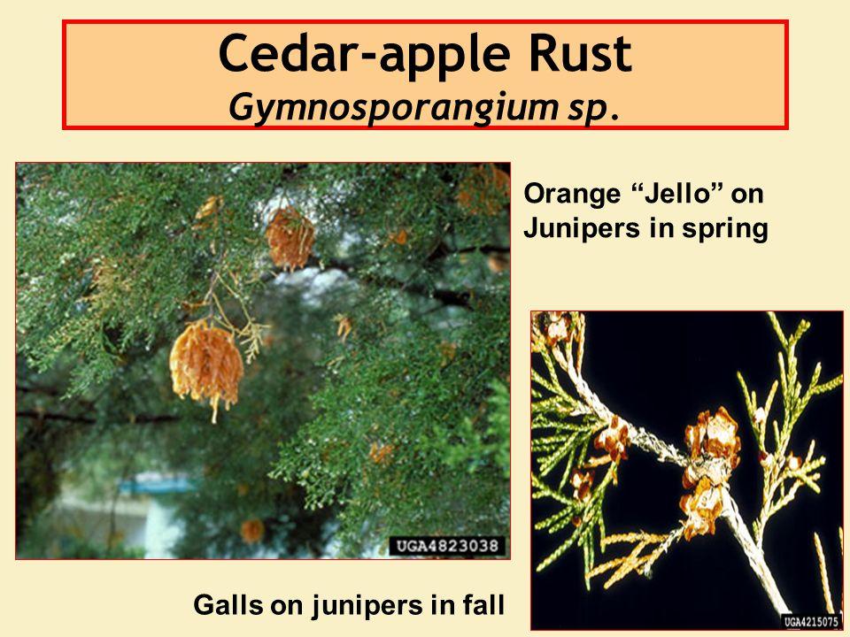 Cedar-apple Rust Gymnosporangium sp. Orange Jello on Junipers in spring Galls on junipers in fall