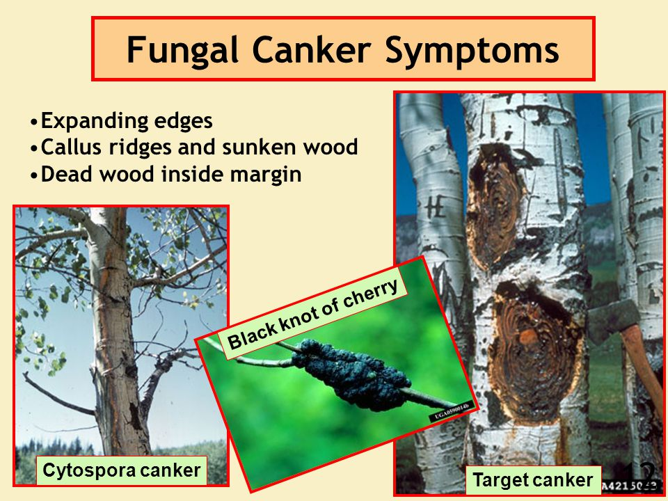 Fungal Canker Symptoms Expanding edges Callus ridges and sunken wood Dead wood inside margin Black knot of cherry Cytospora canker Target canker 12