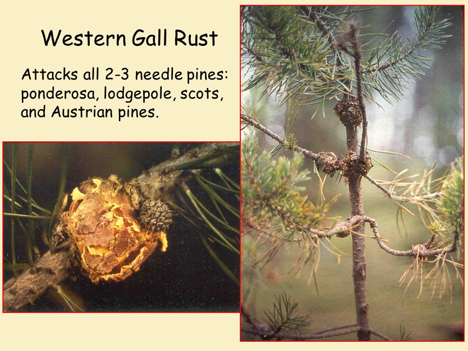 Western Gall Rust Attacks all 2-3 needle pines: ponderosa, lodgepole, scots, and Austrian pines.