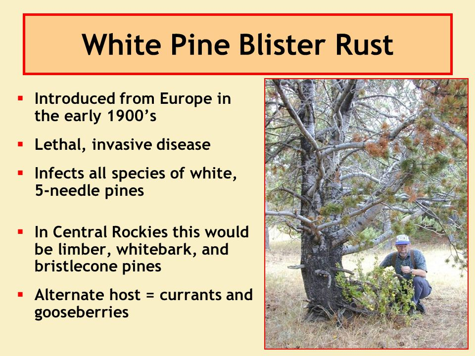 White Pine Blister Rust  Introduced from Europe in the early 1900's  Lethal, invasive disease  Infects all species of white, 5-needle pines  In Ce