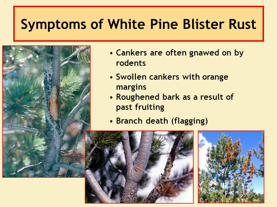 Symptoms of White Pine Blister Rust Cankers are often gnawed on by rodents Swollen cankers with orange margins Roughened bark as a result of past frui