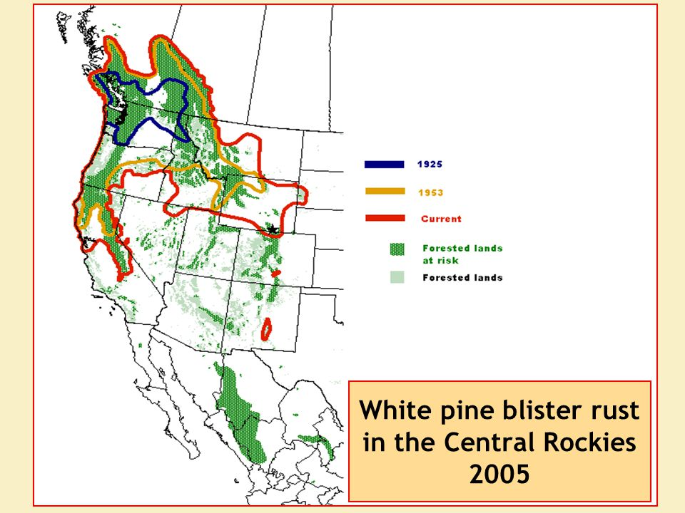 White pine blister rust in the Central Rockies 2005