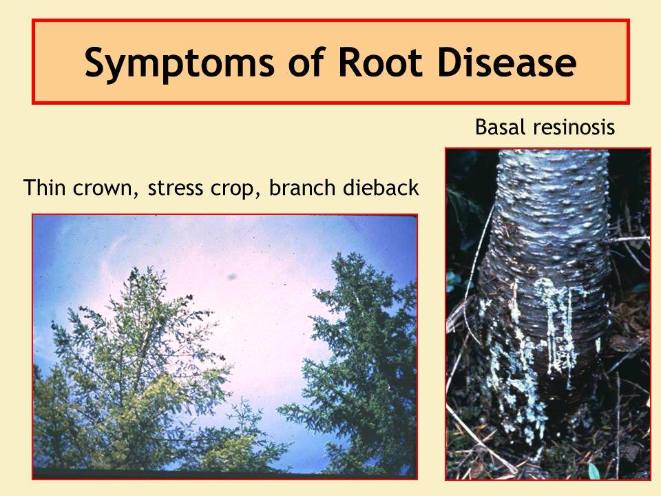 Symptoms of Root Disease Basal resinosis Thin crown, stress crop, branch dieback