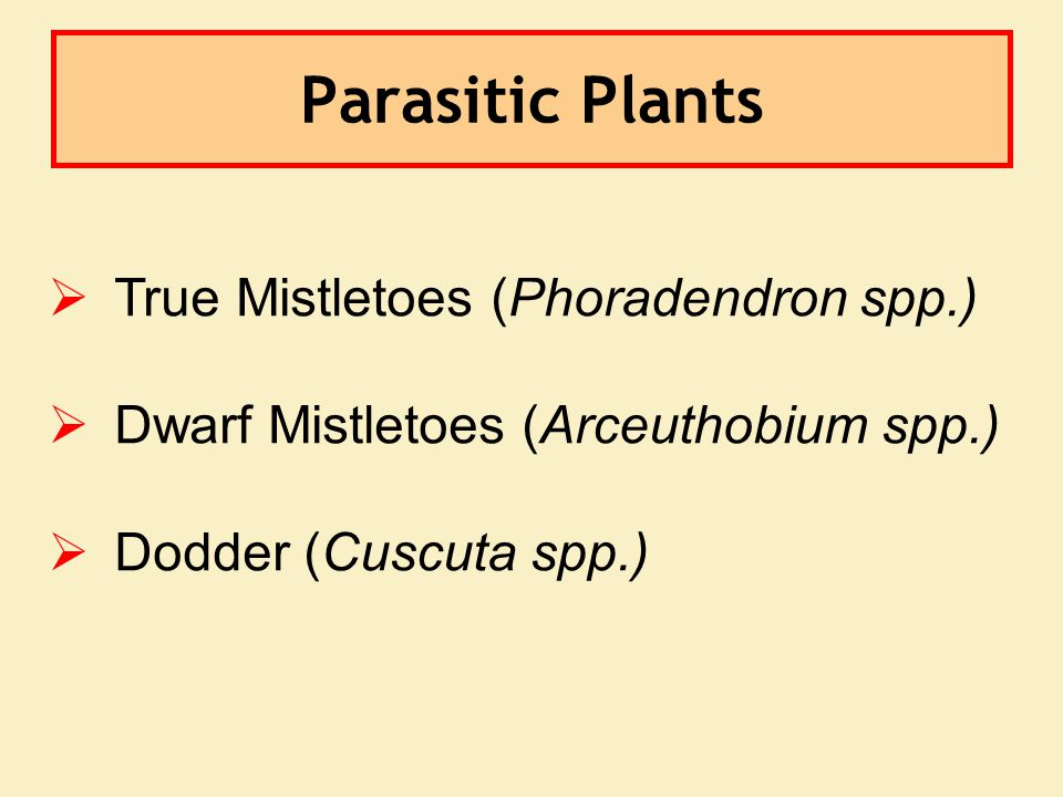 Parasitic Plants   True Mistletoes (Phoradendron spp.)   Dwarf Mistletoes (Arceuthobium spp.)   Dodder (Cuscuta spp.)