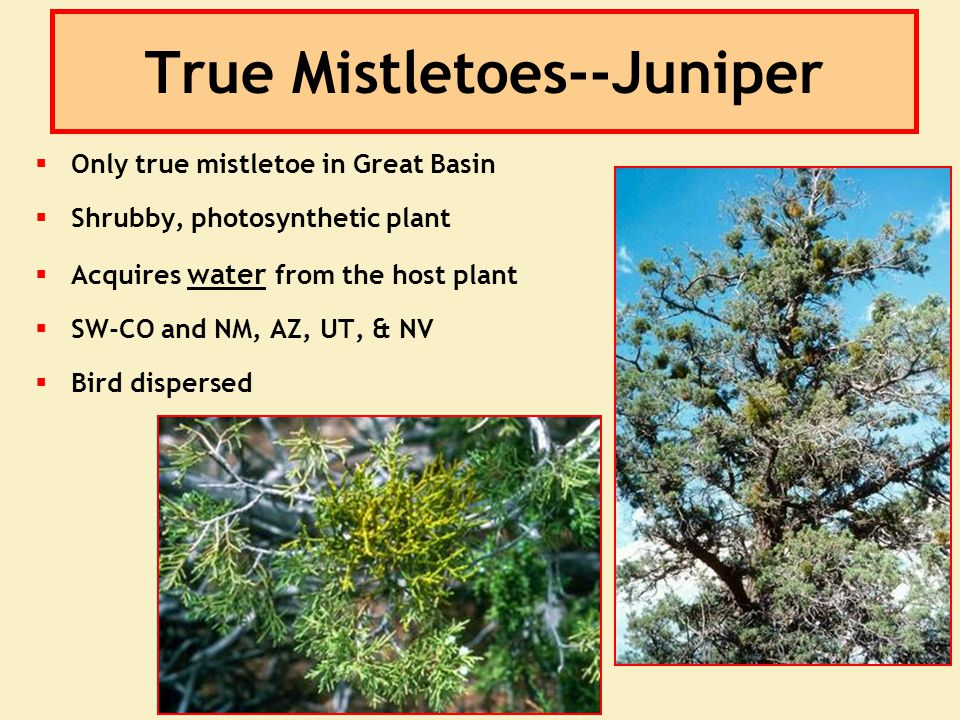 True Mistletoes--Juniper  Only true mistletoe in Great Basin  Shrubby, photosynthetic plant  Acquires water from the host plant  SW-CO and NM, AZ,