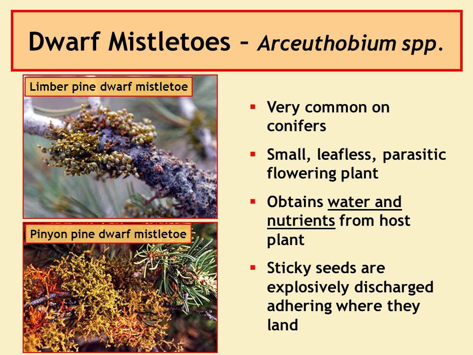 Dwarf Mistletoes – Arceuthobium spp.