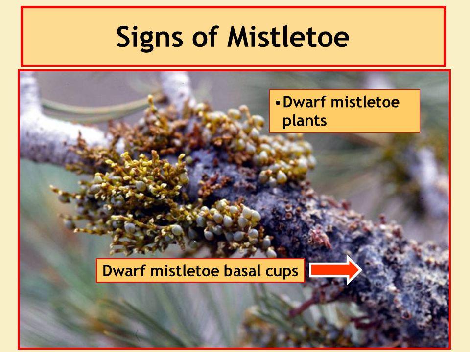 Signs of Mistletoe Dwarf mistletoe plants Dwarf mistletoe basal cups