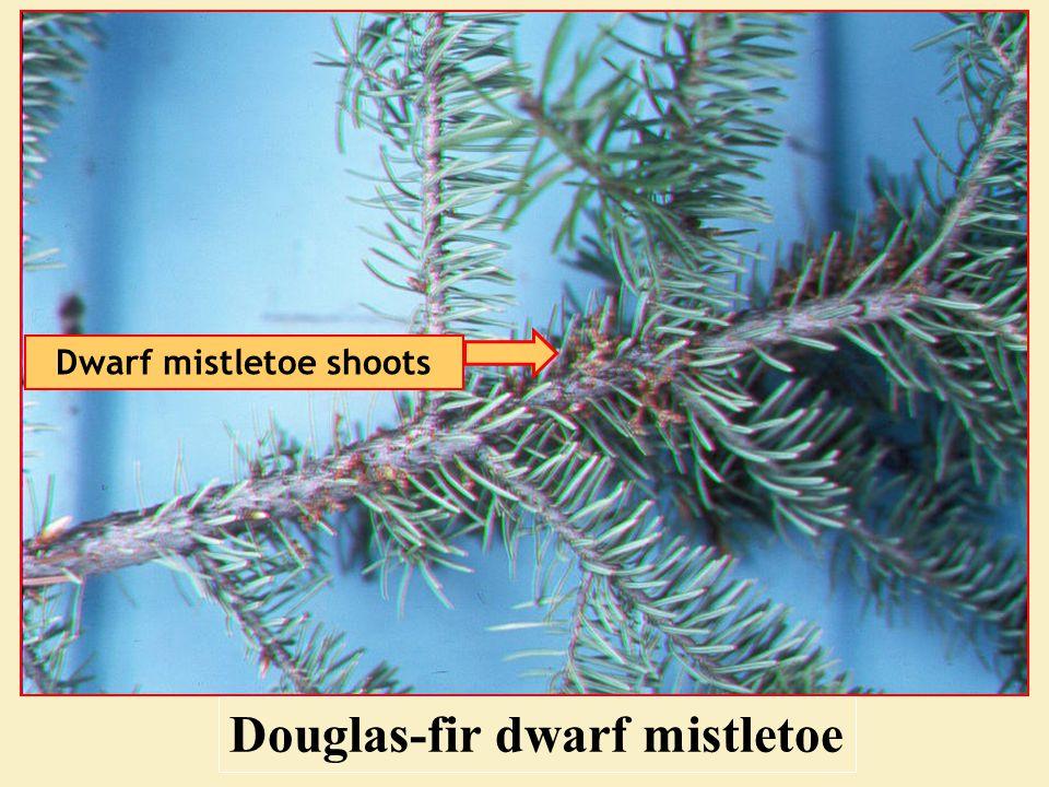 Douglas-fir dwarf mistletoe Dwarf mistletoe shoots