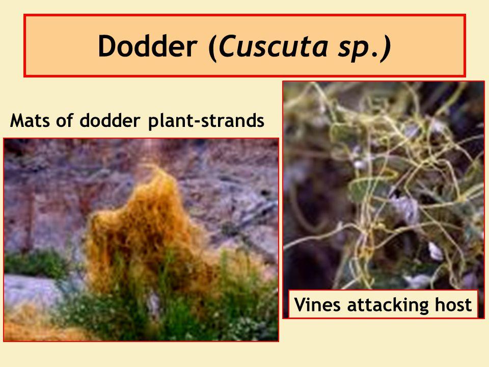 Dodder (Cuscuta sp.) Mats of dodder plant-strands Vines attacking host