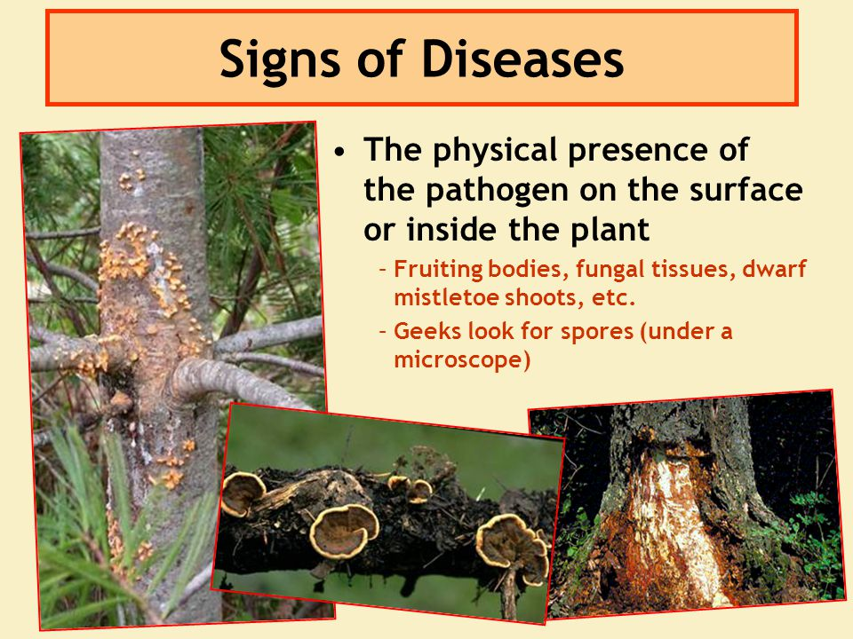 Signs of Diseases The physical presence of the pathogen on the surface or inside the plant – –Fruiting bodies, fungal tissues, dwarf mistletoe shoots,