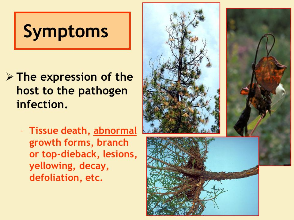 Symptoms  The expression of the host to the pathogen infection. –Tissue death, abnormal growth forms, branch or top-dieback, lesions, yellowing, deca