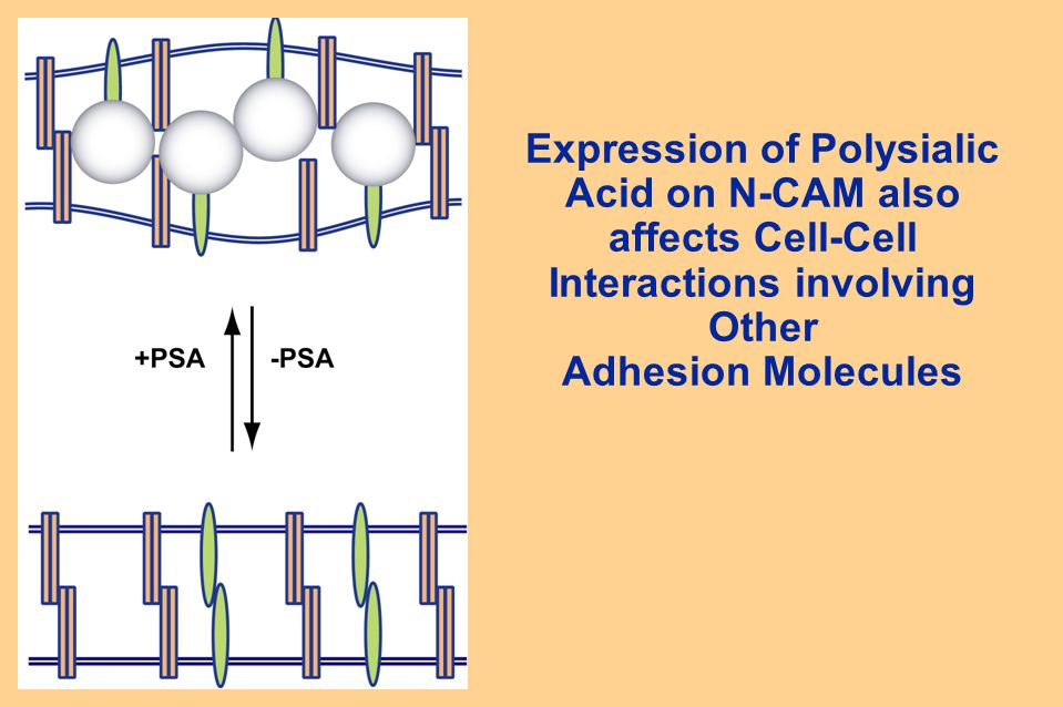 Expression of Polysialic Acid on N-CAM also affects Cell-Cell Interactions involving Other Adhesion Molecules