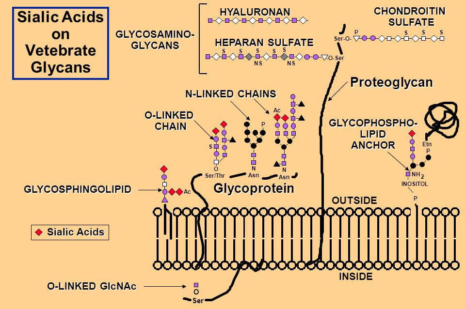 GLYCOPHOSPHO-LIPIDANCHOR Sialic Acids on Vetebrate Glycans O Ser O Ser/Thr N Asn Ser-O- OUTSIDE INSIDE N Asn S SS -O-Ser S S S SS Etn P INOSITOL P NH Ac P NS Ac S 2 P Glycoprotein Proteoglycan N-LINKED CHAINS O-LINKEDCHAIN HYALURONAN GLYCOSAMINO-GLYCANS HEPARAN SULFATE CHONDROITIN SULFATE SULFATE Sialic Acids GLYCOSPHINGOLIPID O-LINKED GlcNAc