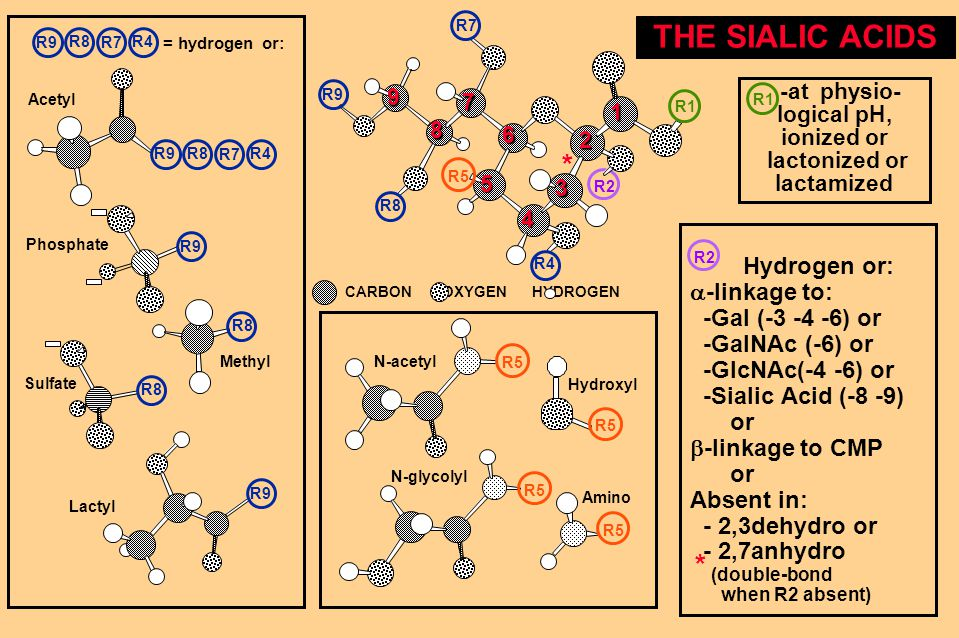 THE SIALIC ACIDS R2 R5 N-acetyl Hydrogen or:  -linkage to: -Gal (-3 -4 -6) or -GalNAc (-6) or -GlcNAc(-4 -6) or -Sialic Acid (-8 -9) or  -linkage to CMP or Absent in: - 2,3dehydro or - 2,7anhydro (double-bond when R2 absent) R5 N-glycolyl Hydroxyl Amino * -at physio- logical pH, ionized or lactonized or lactamized R1 1 2 3 4 5 6 7 89 * CARBON OXYGEN HYDROGEN R1 = hydrogen or: R8 R9 R7 R4 R8 R9 R7 R4 Acetyl R8 R9 R7 R4 Phosphate R9 Methyl R8 Sulfate R8 Lactyl R9