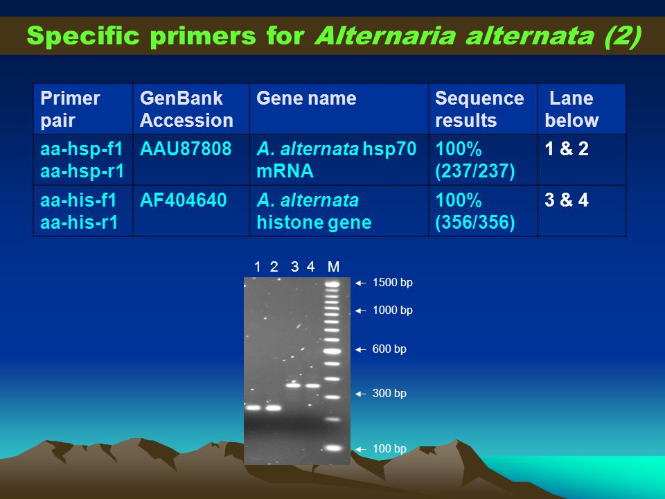 Primer pair GenBank Accession Gene nameSequence results Lane below aa-hsp-f1 aa-hsp-r1 AAU87808A. alternata hsp70 mRNA 100% (237/237) 1 & 2 aa-his-f1