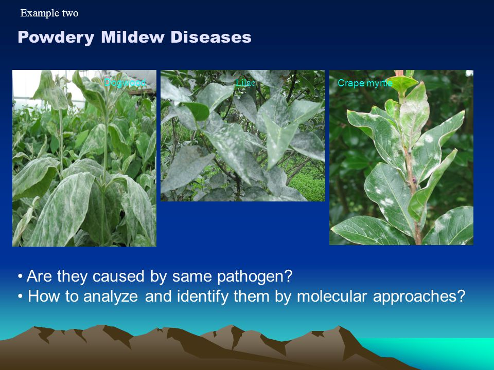 Powdery Mildew Diseases Dogwood Lilac Crape myrtle Are they caused by same pathogen? How to analyze and identify them by molecular approaches? Example