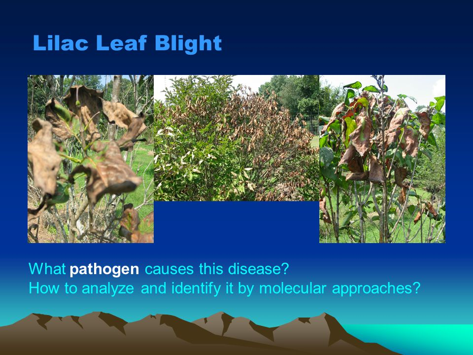 Lilac Leaf Blight What pathogen causes this disease? How to analyze and identify it by molecular approaches?