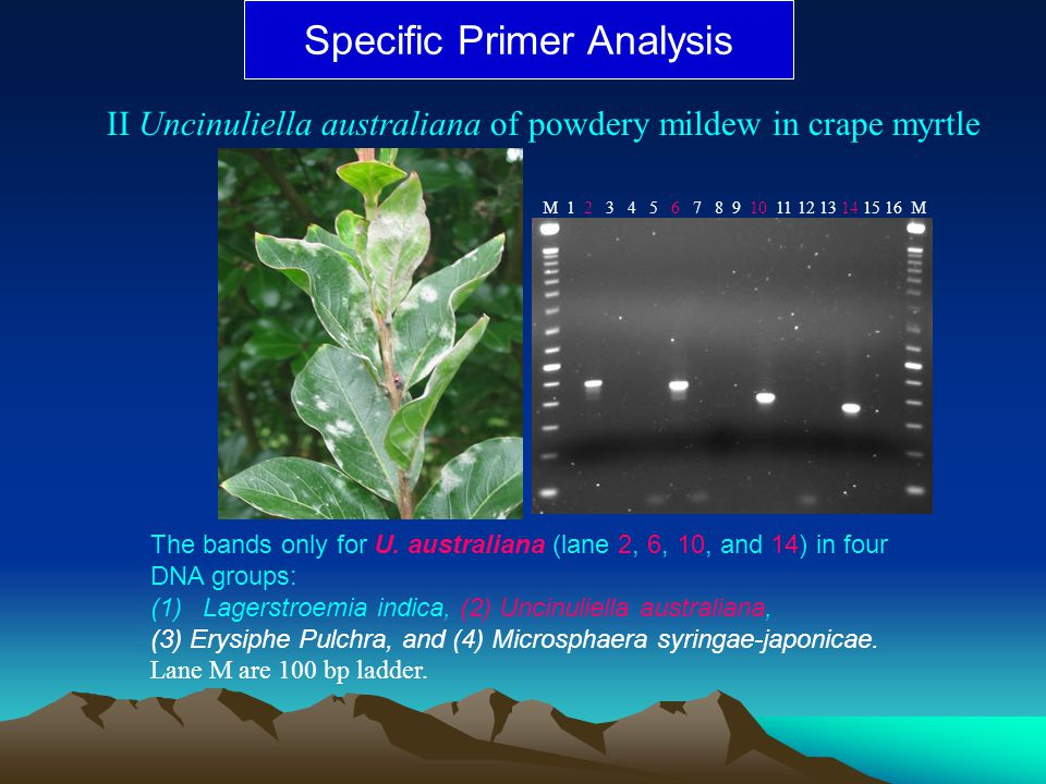 Specific Primer Analysis II Uncinuliella australiana of powdery mildew in crape myrtle The bands only for U. australiana (lane 2, 6, 10, and 14) in fo