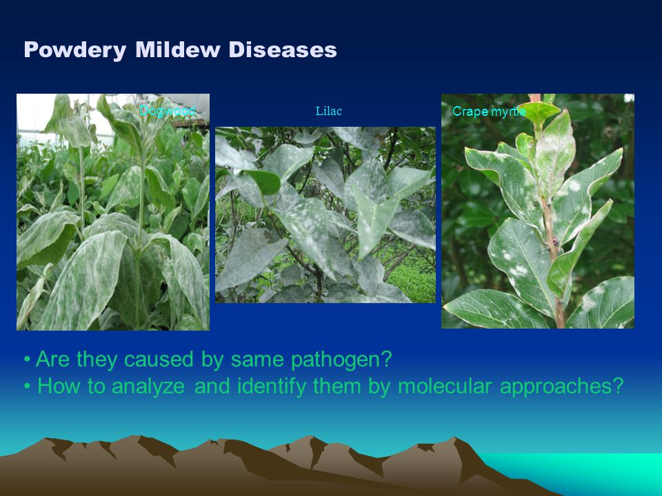 Powdery Mildew Diseases Dogwood Lilac Crape myrtle Are they caused by same pathogen? How to analyze and identify them by molecular approaches?