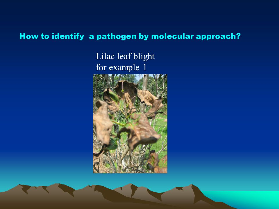 How to identify a pathogen by molecular approach? Lilac leaf blight for example 1