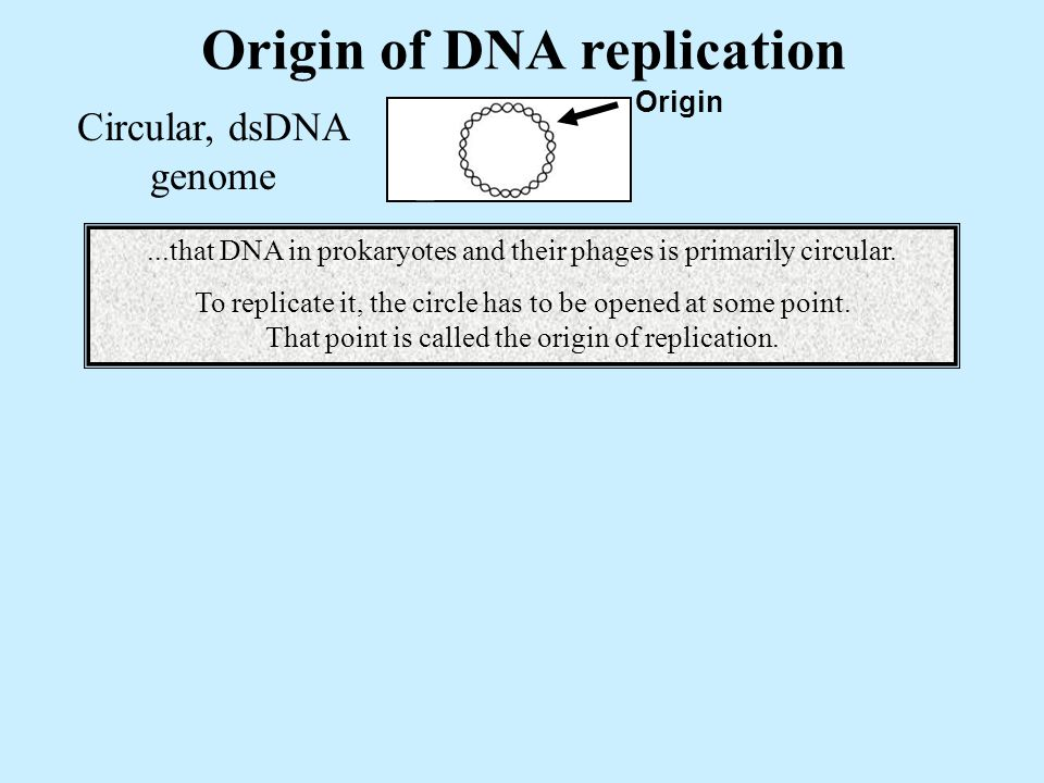 Origin of DNA replication Circular, dsDNA genome Origin...that DNA in prokaryotes and their phages is primarily circular.