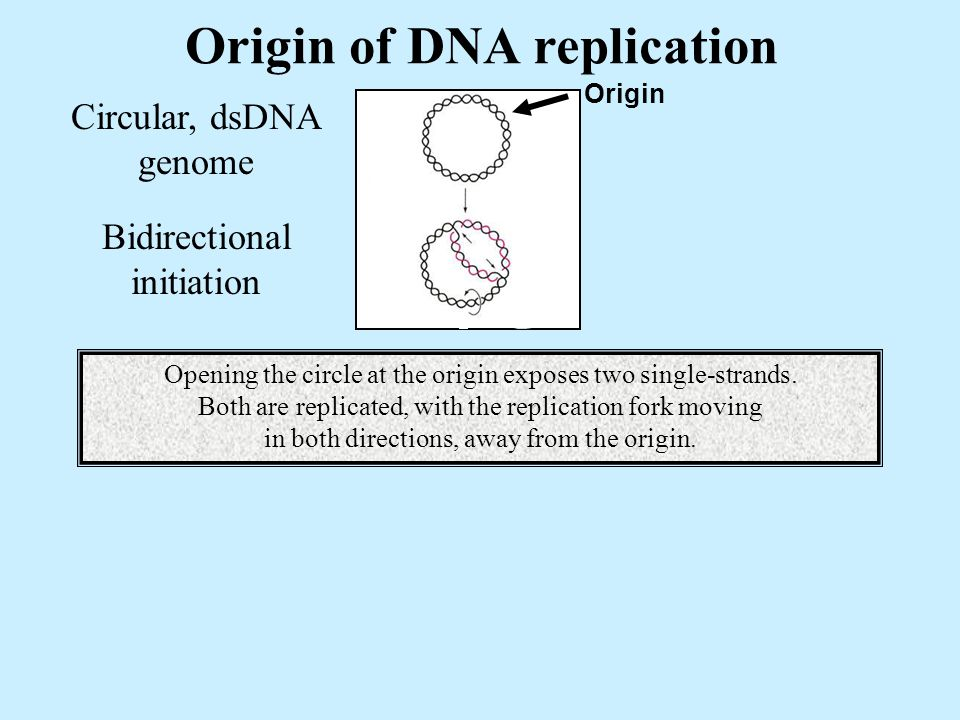 Origin of DNA replication Circular, dsDNA genome Origin Bidirectional initiation Opening the circle at the origin exposes two single-strands.