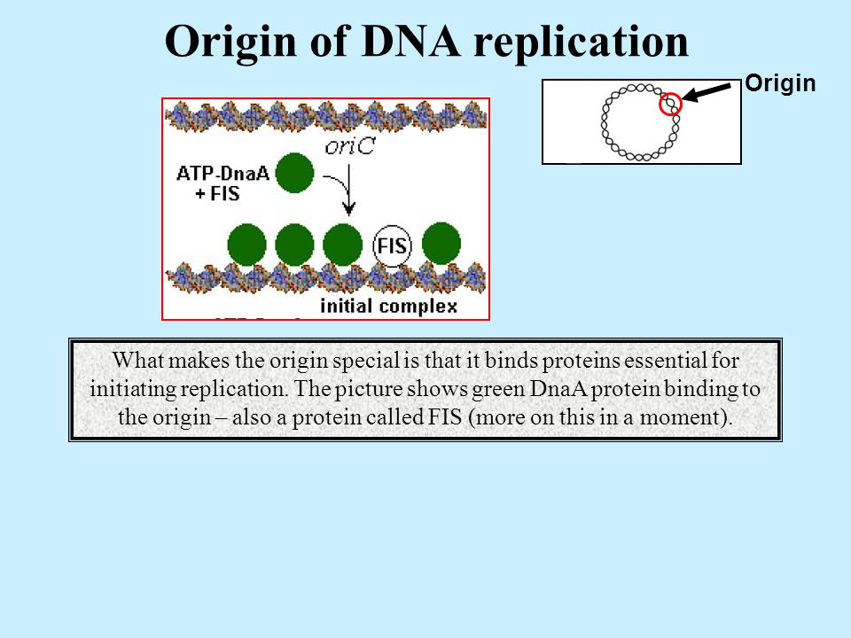 Origin of DNA replication Origin + What makes the origin special is that it binds proteins essential for initiating replication.