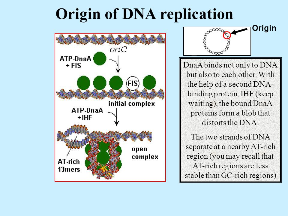Origin of DNA replication Origin + + DnaA binds not only to DNA but also to each other.