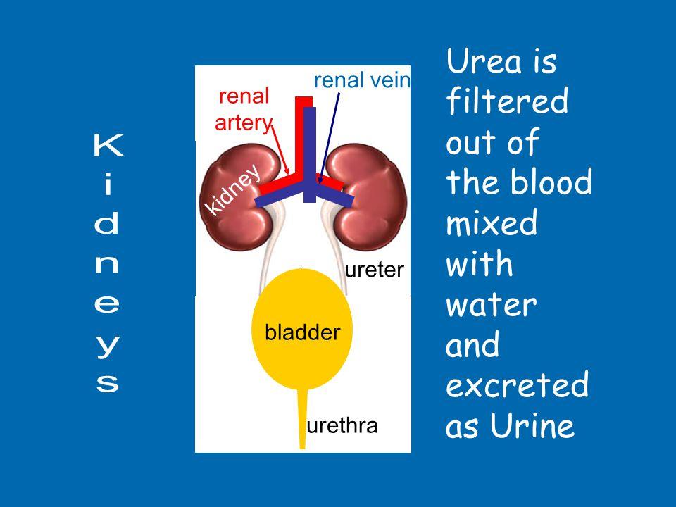 bladder urethra renal vein carries blood from kidney renal artery carries blood to kidneykidney filters blood to remove urea ureter transports urine to bladder bladder stores urine urethra releases urine