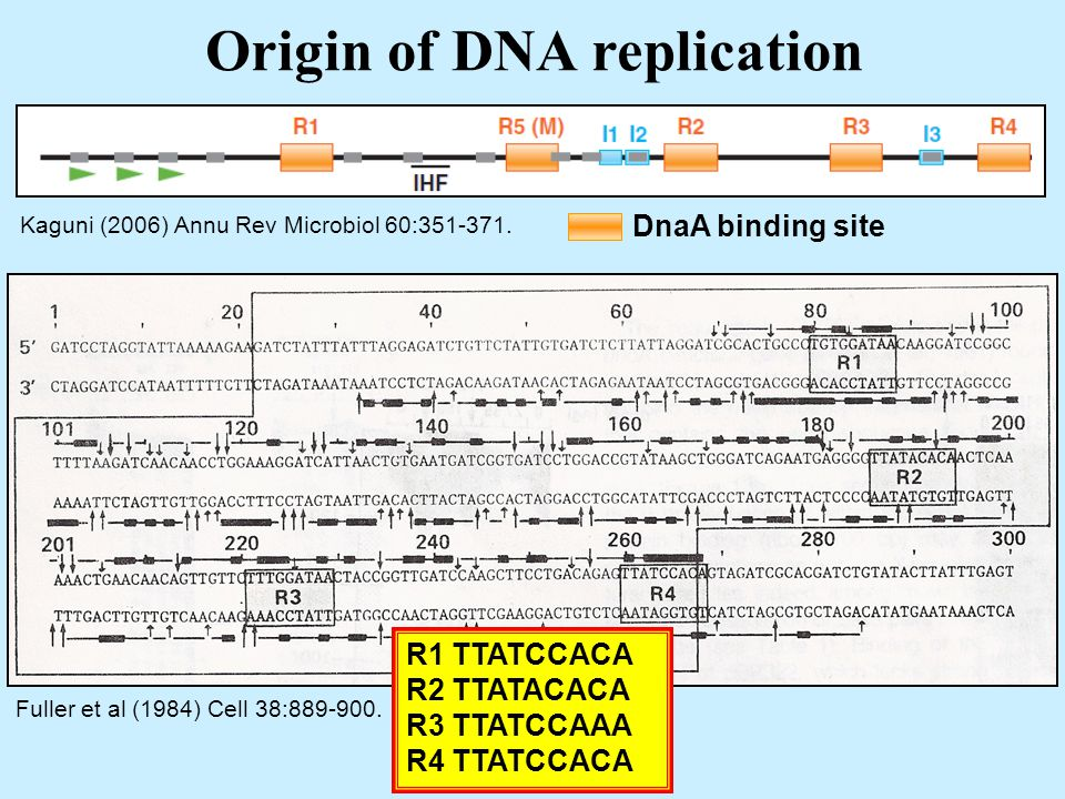 Origin of DNA replication Kaguni (2006) Annu Rev Microbiol 60:351-371.