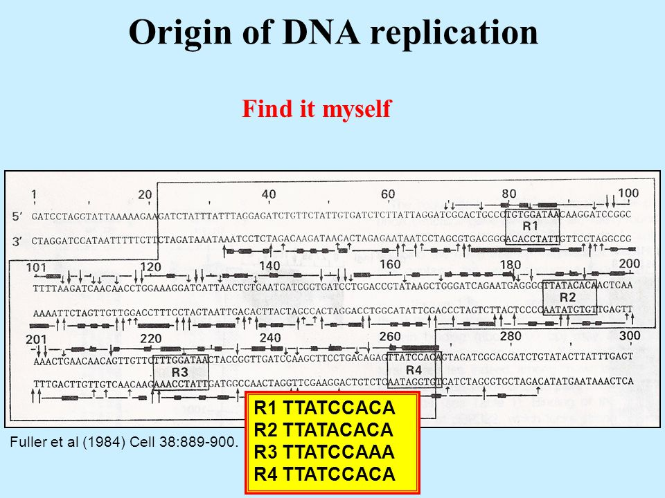 Origin of DNA replication Fuller et al (1984) Cell 38:889-900.