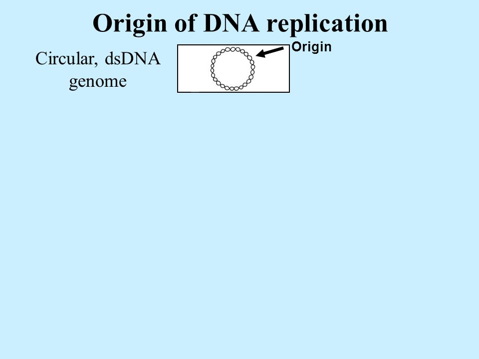 Origin of DNA replication Circular, dsDNA genome Origin Bidirectional initiation