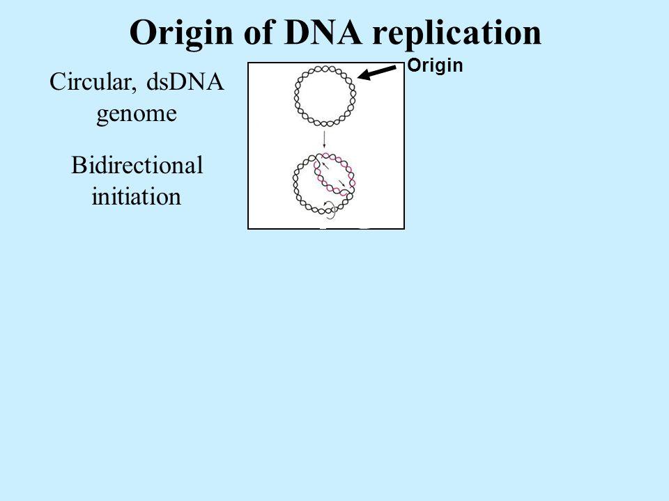 Origin of DNA replication Circular, dsDNA genome Bidirectional initiation Origin Elongation Separation
