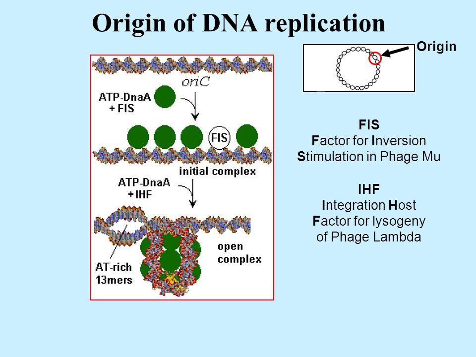 Origin of DNA replication Origin + + FIS Factor for Inversion Stimulation in Phage Mu IHF Integration Host Factor for lysogeny of Phage Lambda