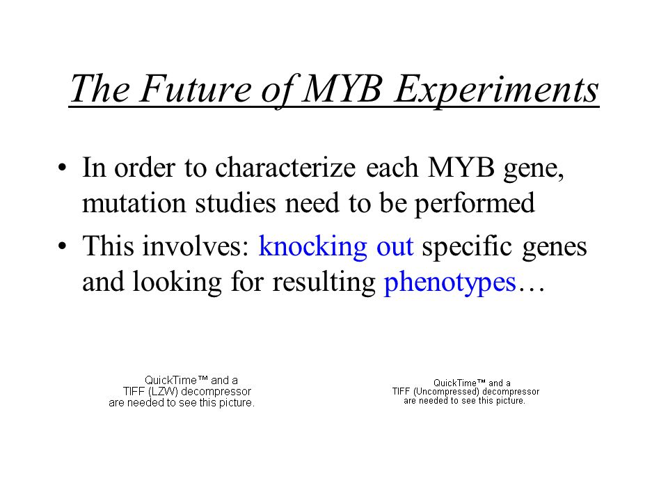 The Future of MYB Experiments In order to characterize each MYB gene, mutation studies need to be performed This involves: knocking out specific genes and looking for resulting phenotypes…