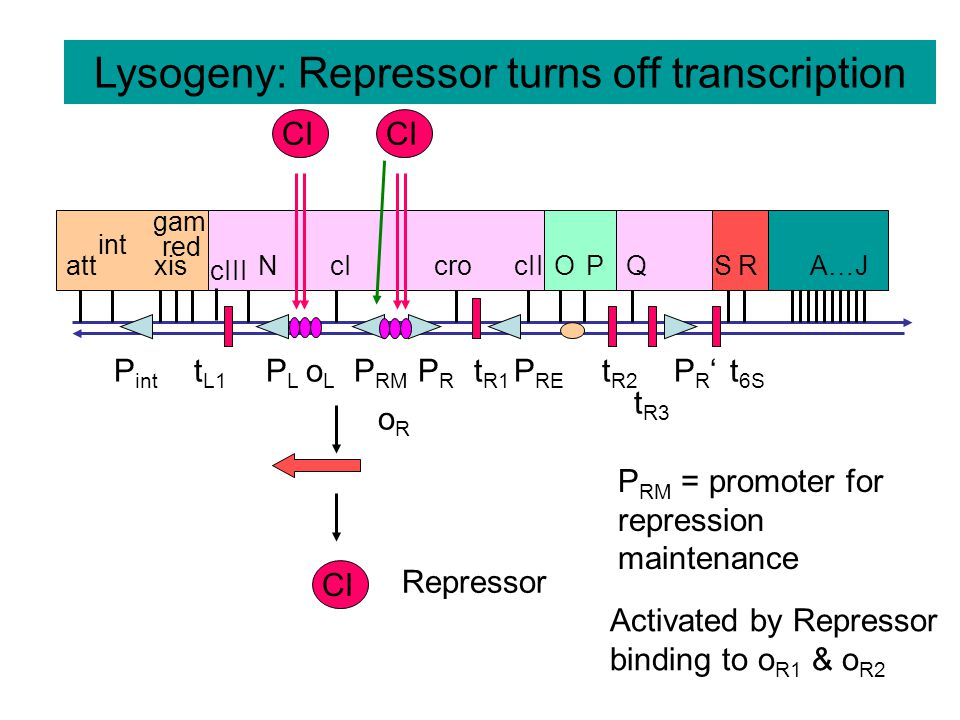 Lysogeny: Repressor turns off transcription oRoR P int oLoL PLPL P RM PRPR P RE PR'PR' t R3 t L1 t R1 t R2 t 6S att int xis red gam cIII NcIcrocIIOPQSRA…J CI Repressor P RM = promoter for repression maintenance CI Activated by Repressor binding to o R1 & o R2