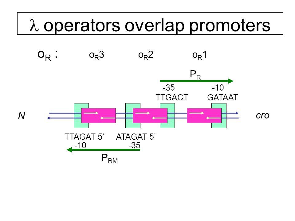  operators overlap promoters oR1oR1oR2oR2 o R : TTGACTGATAAT -10-35 ATAGAT 5'TTAGAT 5' -10-35 oR3oR3 cro N PRPR P RM