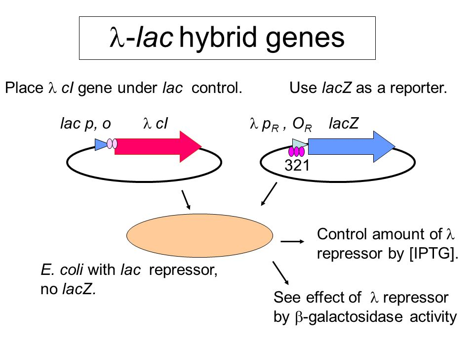 -lac  hybrid genes lac p, o  cI  p R, O R lacZ Place cI gene under lac control.