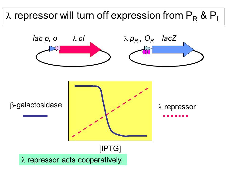 repressor will turn off expression from P R & P L lac p, o  cI  p R, O R lacZ  -galactosidase [IPTG] repressor repressor acts cooperatively.