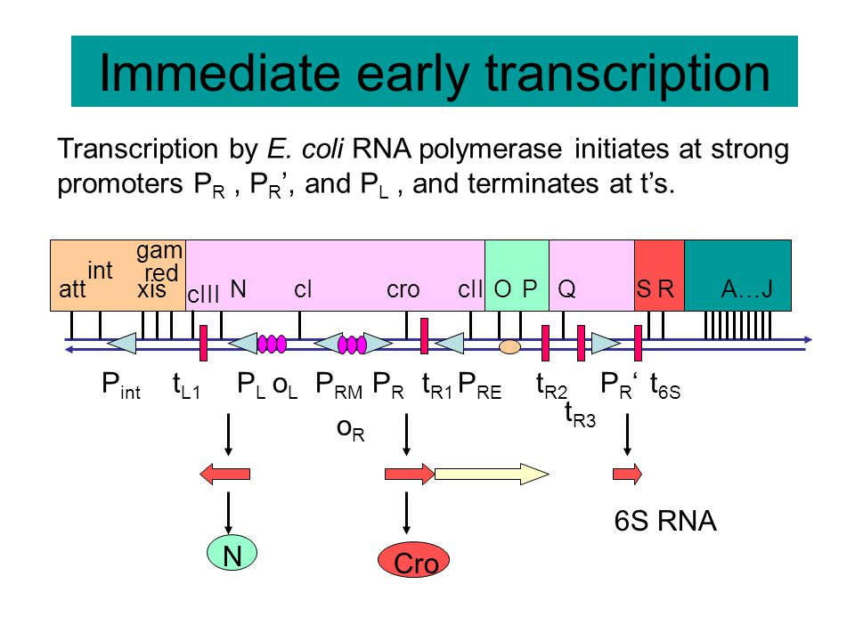 Antitermination by N protein leads to early gene expression P int PLPL P RM PRPR P RE PR'PR' t R3 t L1 t R1 t R2 t 6S att int xis red gam cIII NcIcrocIIOPQSRA…J NNN N proteinCro 6S RNA CIII Recombination proteins CII Replication proteins Q protein