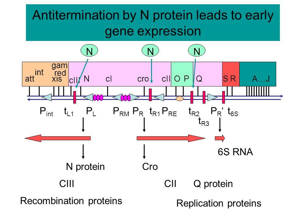 Repressor stimulates transcription from P RM lac p, o  cI  p RM, O R lacZ  -galactosidase [IPTG] repressor 123 repressor at o R 1 and o R 2 stimulates transcription from p RM.