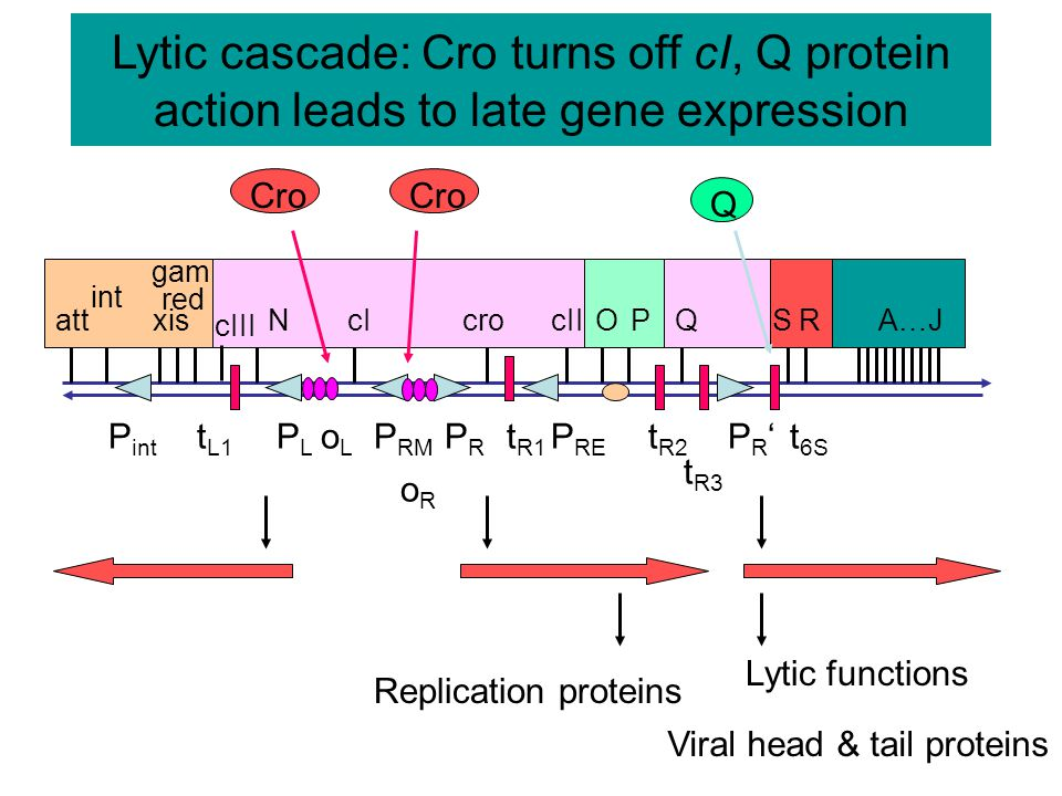 Binding of repressor blocks transcription from p R but activates p RM oR1oR1oR2oR2 -10-35 -10-35 oR3oR3 cro N PRPR P RM 2 dimers of Repressor, bound cooperatively RNA Pol = operator -10-35 = promoter