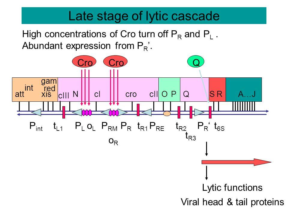 + Lysogeny: CII and CIII stimulate expression of cI to make repressor oRoR P int oLoL PLPL P RM PRPR P RE PR'PR' t R3 t L1 t R1 t R2 t 6S att int xis red gam cIII NcIcrocIIOPQSRA…J CIII CII CI + Repressor P RE = promoter for repression establishment Int t int CII