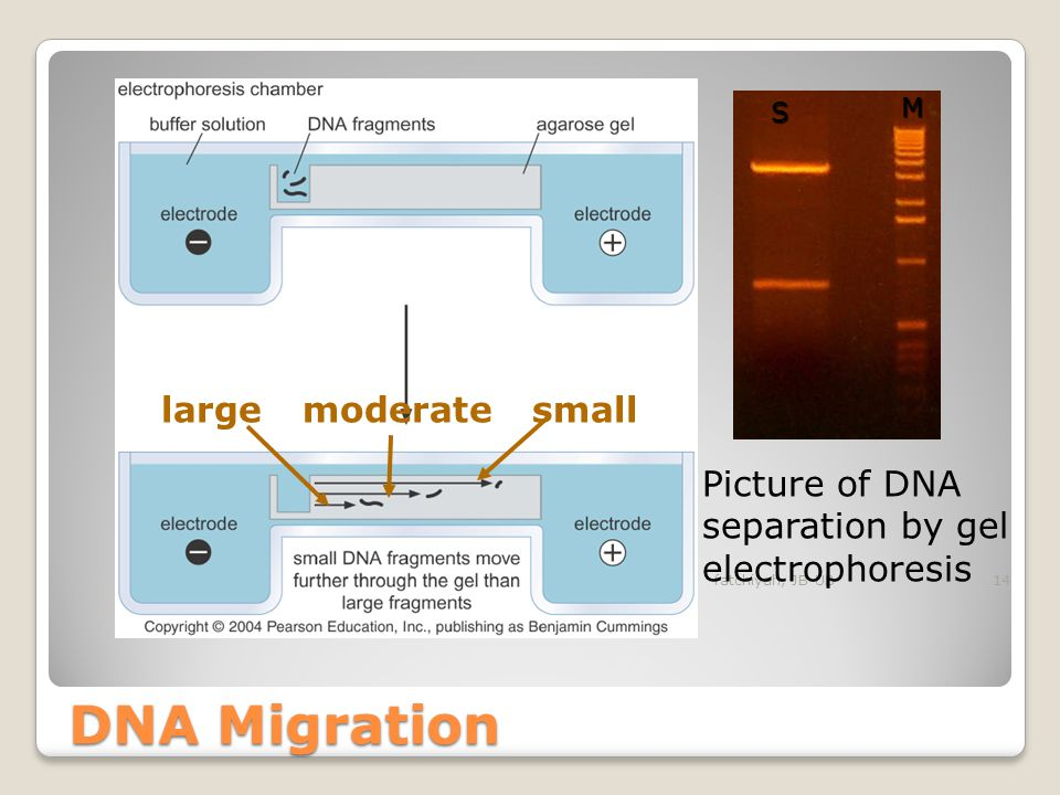 Circular forms of DNA migrate in agarose distinctly differently from linear DNAs of the same mass. Typically, uncut plasmids will appear to migrate mo