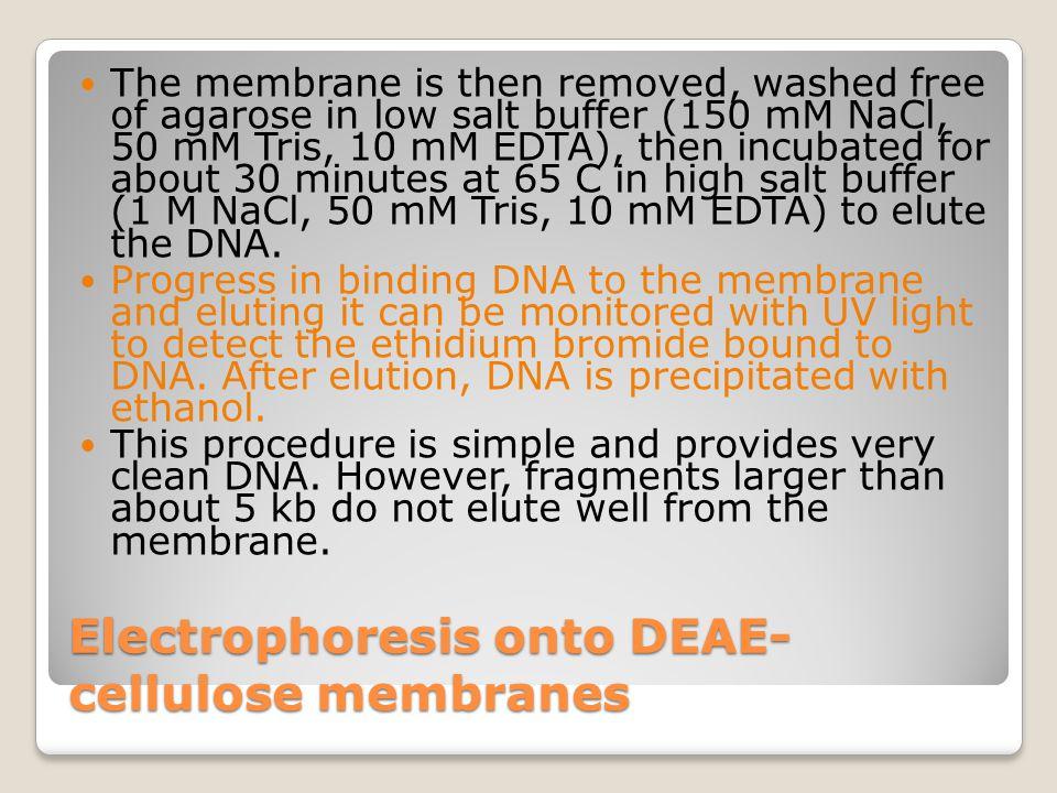 Electrophoresis onto DEAE- cellulose membranes At low concentrations of salt, DNA binds avidly to DEAE- cellulose membranes. Fragments of DNA are elec