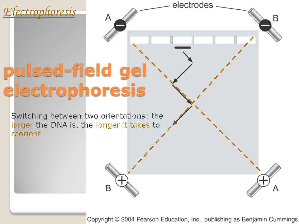Pulse-field gel Electrophoresis (PFGE) Ideally, the DNA should separate in straight lanes to simplify lane-to-lane comparisons. The original pulsed-fi
