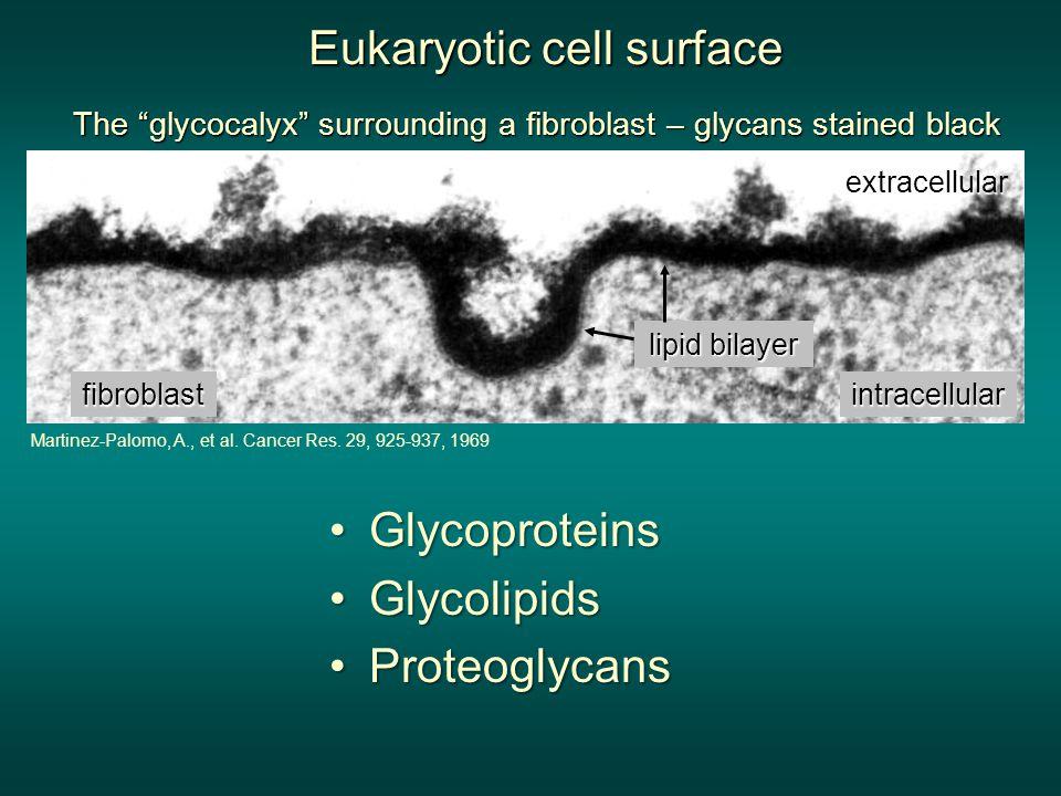 The glycocalyx surrounding a fibroblast – glycans stained black lipid bilayer fibroblast extracellular intracellular Martinez-Palomo, A., et al.