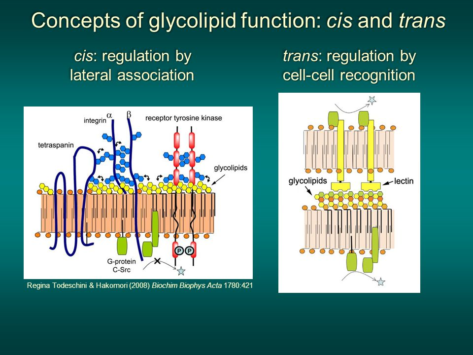 Concepts of glycolipid function: cis and trans Concepts of glycolipid function: cis and trans Concepts of glycolipid function: cis and trans Concepts of glycolipid function: cis and trans cis: regulation by lateral association cis: regulation by lateral association cis: regulation by lateral association cis: regulation by lateral association trans: regulation by cell-cell recognition trans: regulation by cell-cell recognition trans: regulation by cell-cell recognition trans: regulation by cell-cell recognition Regina Todeschini & Hakomori (2008) Biochim Biophys Acta 1780:421